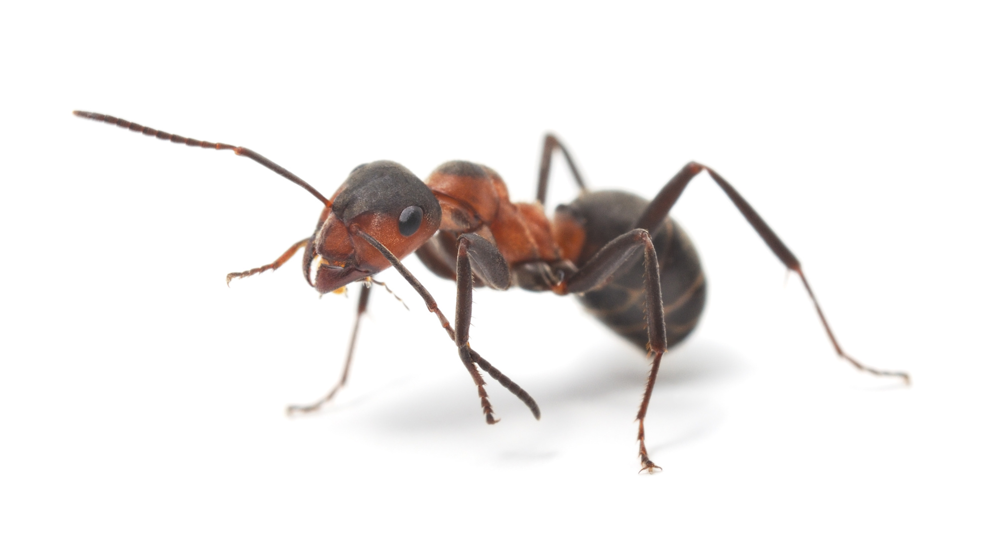Ant pest control in Bakersfield, Bakersfield pest control